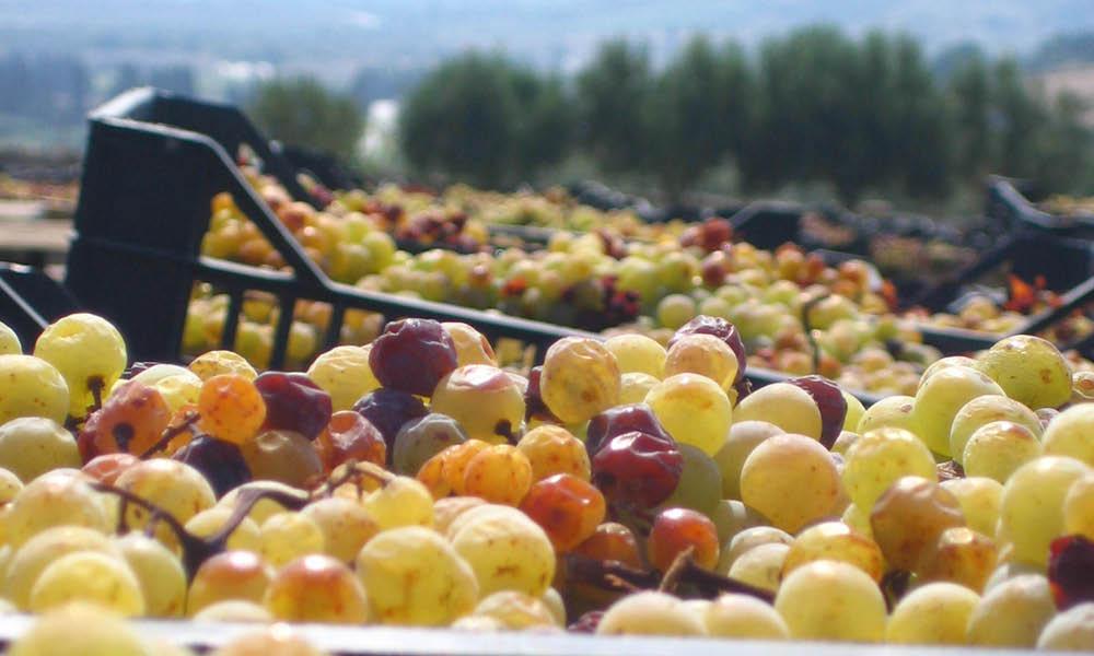 uva bianca grappolo