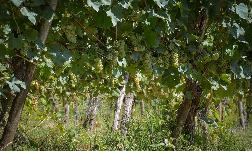 torricino greek vineyards of tufa