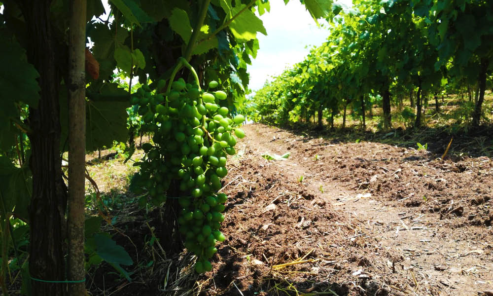 lauranti campania wines