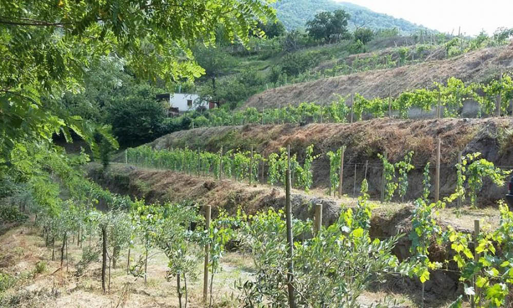 nocerino wines from Campania